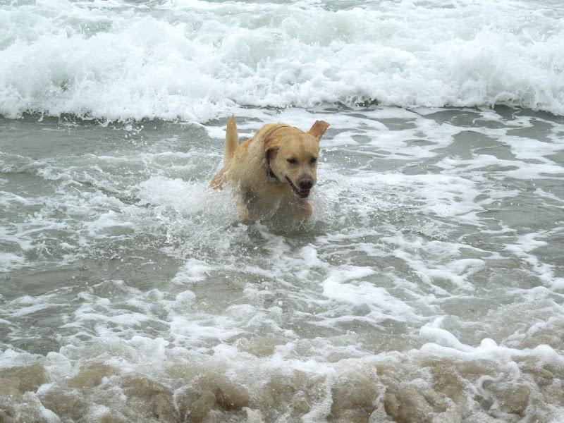 Yellow Beach Labrador