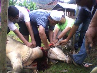 aqiqah lembu