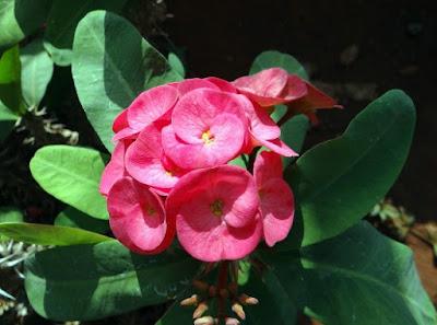 tanaman tahan panas bunga kertas