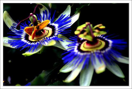 Flor de la Pasión | Cientos de Imagenes