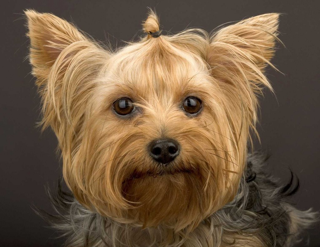 yorkie puppy cut pictures