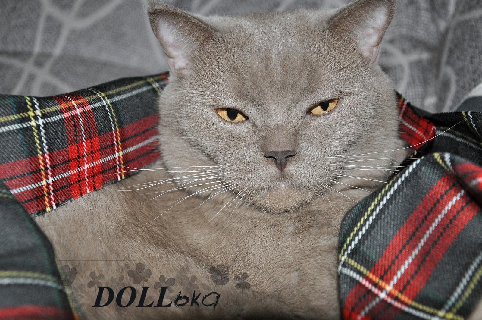 Мой кот британец