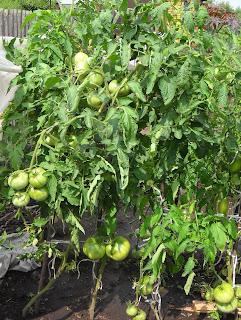 Vkusniogorod - Начало августа на даче – помидоры Русский Богатырь