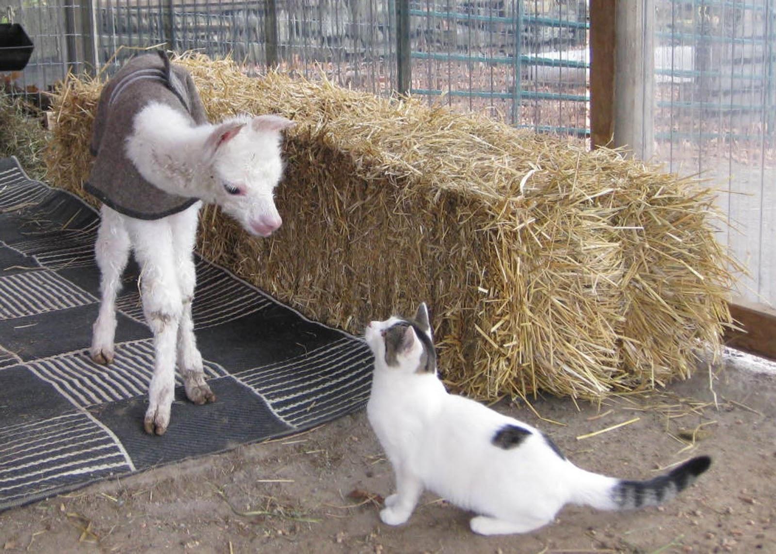 Crafty Alpacas: BABY ALPACA MEETS CAT (#Cute)