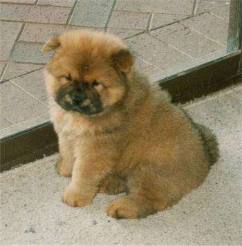 Chow chow puppy best pictures puppy photos collection - Images of chow chow puppies ...