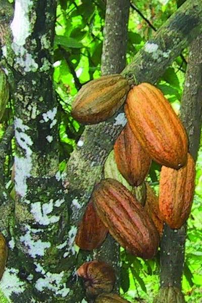Nama Latin Kakao, Klasifikasi, dan Manfaatnya