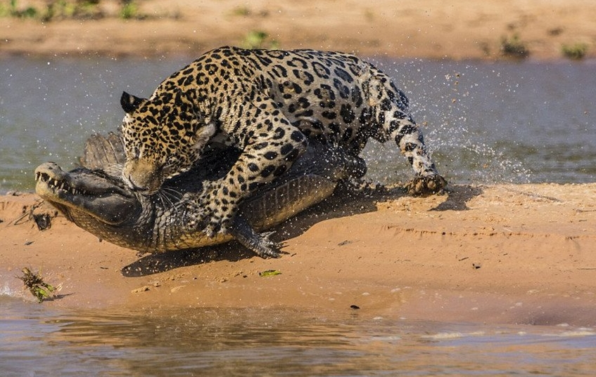 아마존의 제왕 재규어