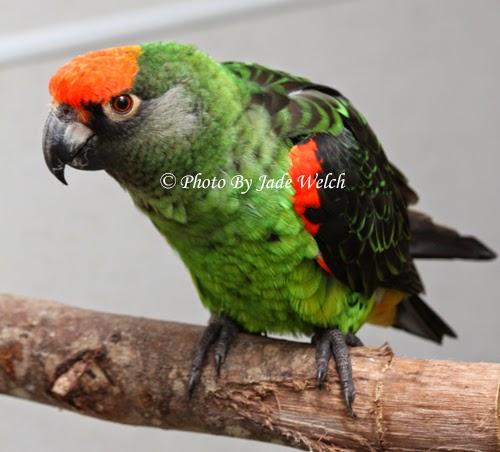 jardine parrot jardines african jadewelchbirds poicephalus