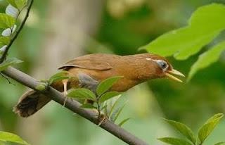 ... kejayaan burung impor di Bogor ~ Kicau Burung Lokal