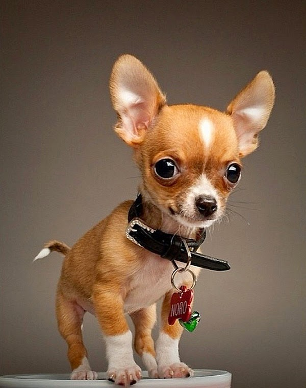 Top 5 Best Small Dog Breeds for Indoor Pets