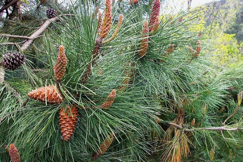 Pinus pinaster, alias pino marittimo