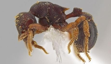 بالصور: اكتشاف 33 نوعاً جديداً من النمل الشيطاني  - مملكة نمل حشرات حشرة نملة متوحشة - ants
