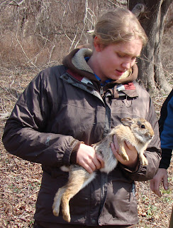 Biologist holding New England cottontail.