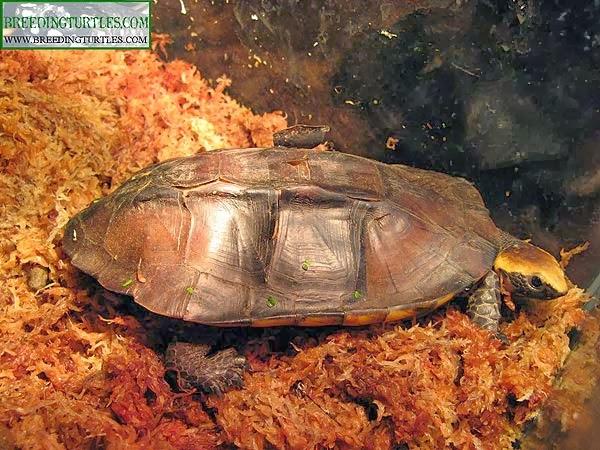 Platemys platycephala