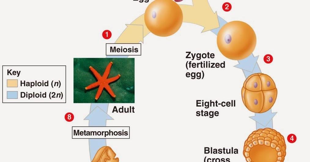 animal life cycle meiosis and mitosis