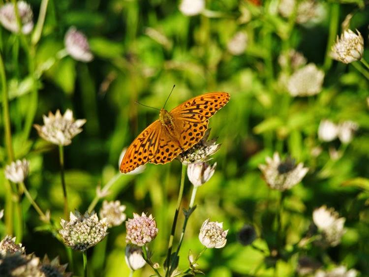 Orange sommerfugt i sommeres blomsterbede