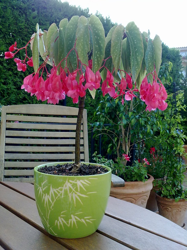 Begonia bamb guia de jardin - Begonia argentata ...