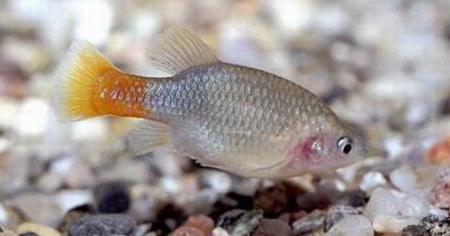 All of xenotoca eiseni aquarium fish maintenance for All fish diet