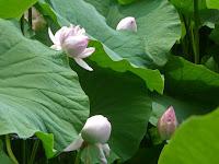 貴重な花として皇室や公卿・大名に献上していたという