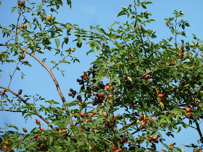 Hedgerow hips and blackberries against blue sky