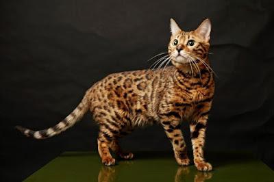 Kitten Bengal