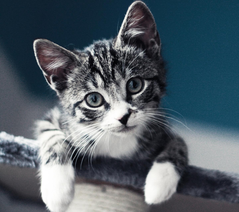 http://4.bp.blogspot.com/-r1vorGICIxQ/UM-AKJ8LaII/AAAAAAAANLw/s_WaA_wJkfU/s1600/kitten-please-samsung-galaxy-s3-wallpaper.jpg