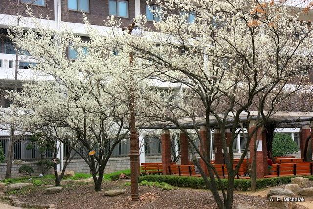 Kết quả hình ảnh cho hoa anh đào đại học Quốc Gia Seoul
