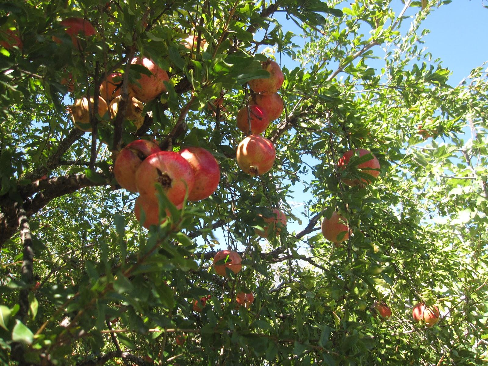 Entre jaras la granada for Arbol granada de jardin