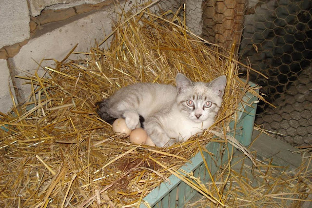 cat with eggs, funny cats, cat photos, cat pictures
