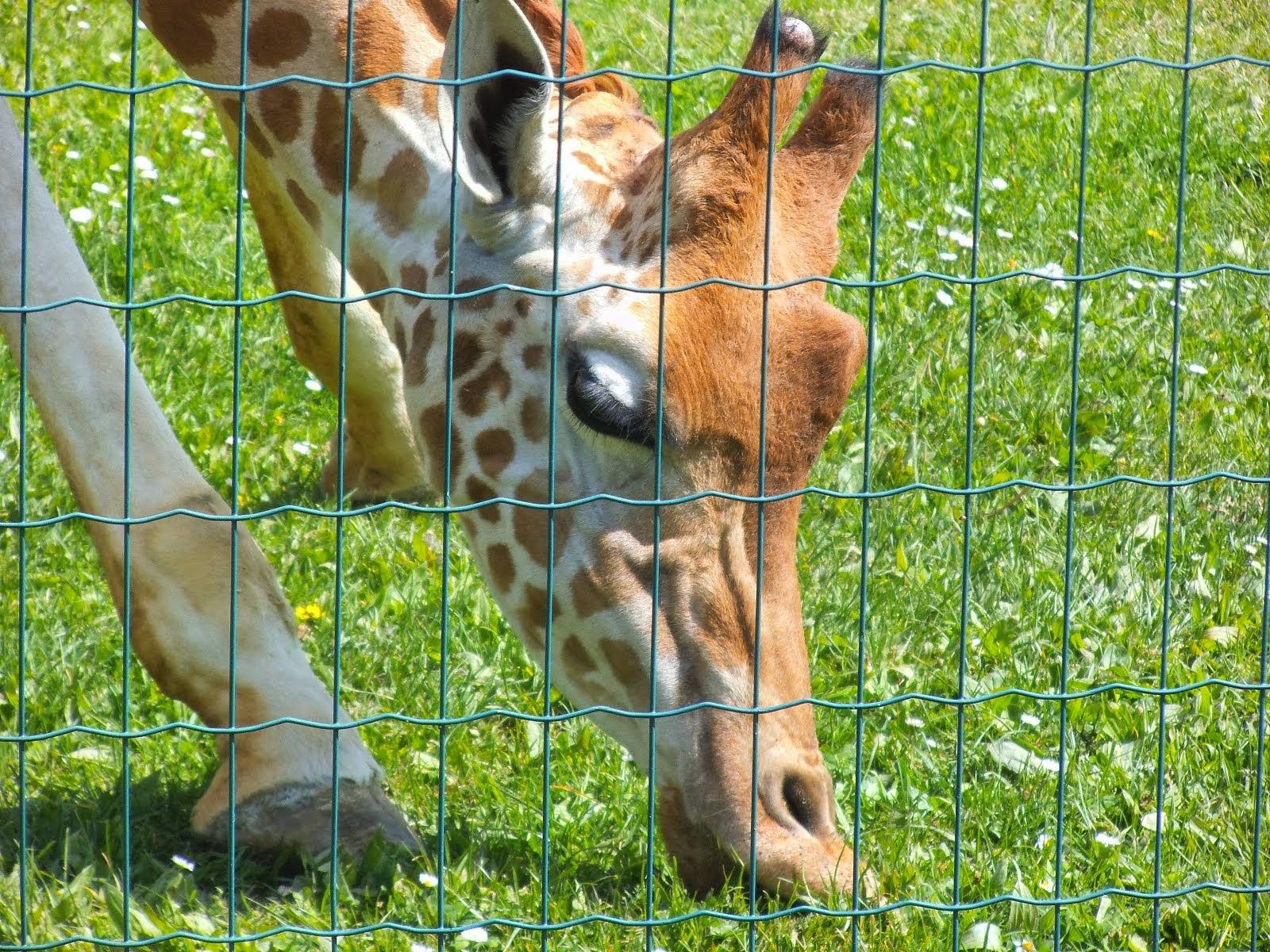 ...giraffa???