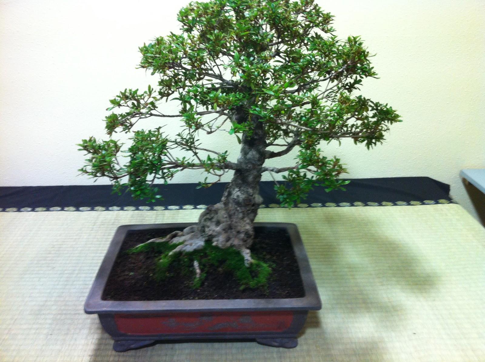 Nostromo bonsai venta azalea for Bonsai vendo