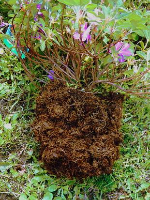 przygotowanie korzenia azalii i rododendronów do sadzenia