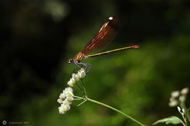 libelula-dorada-dos-macro-fotografia-carolum-art