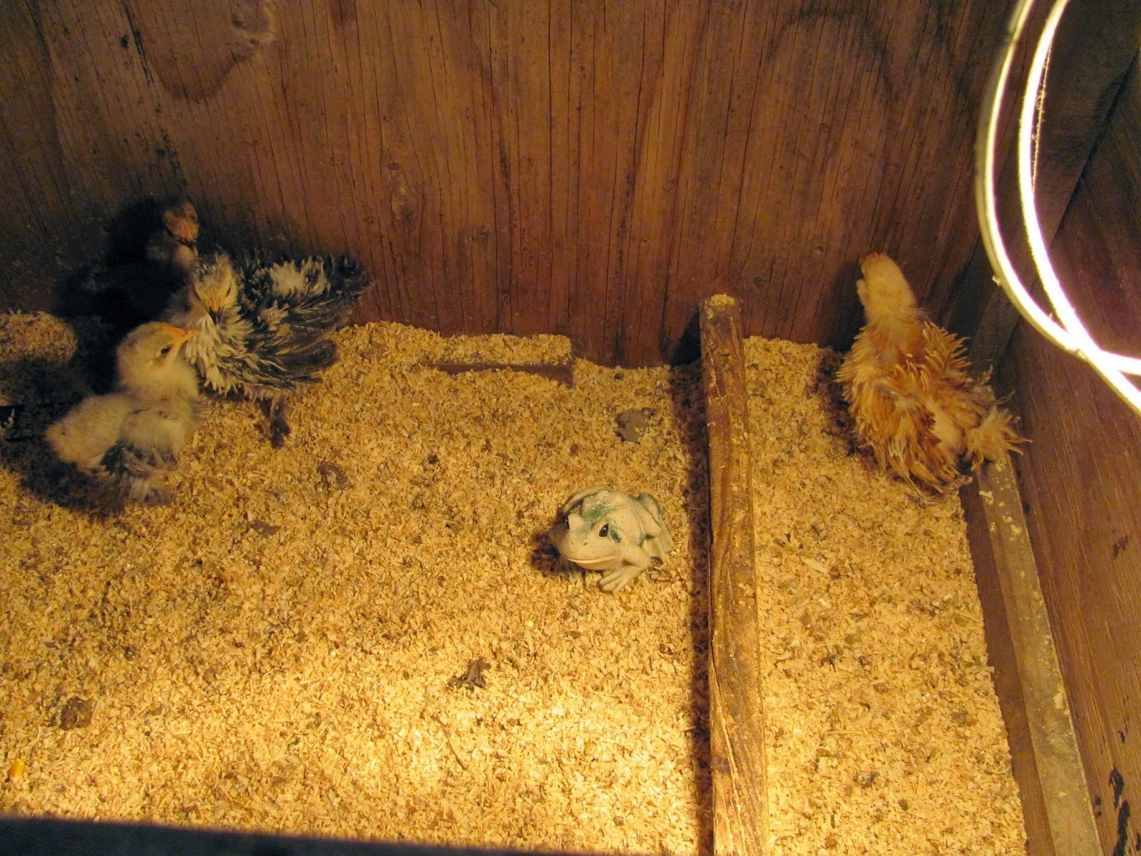 Frog in an incubator with young chicks at our family's house in Spokane, Washington