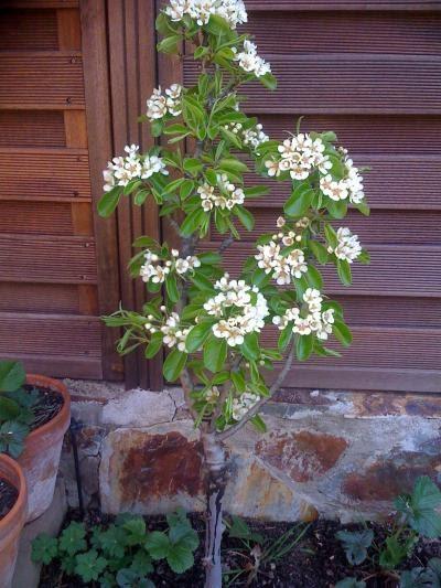 Arte y jardiner a dise o de jardines arboles frutales enanos for Jardines con arboles frutales