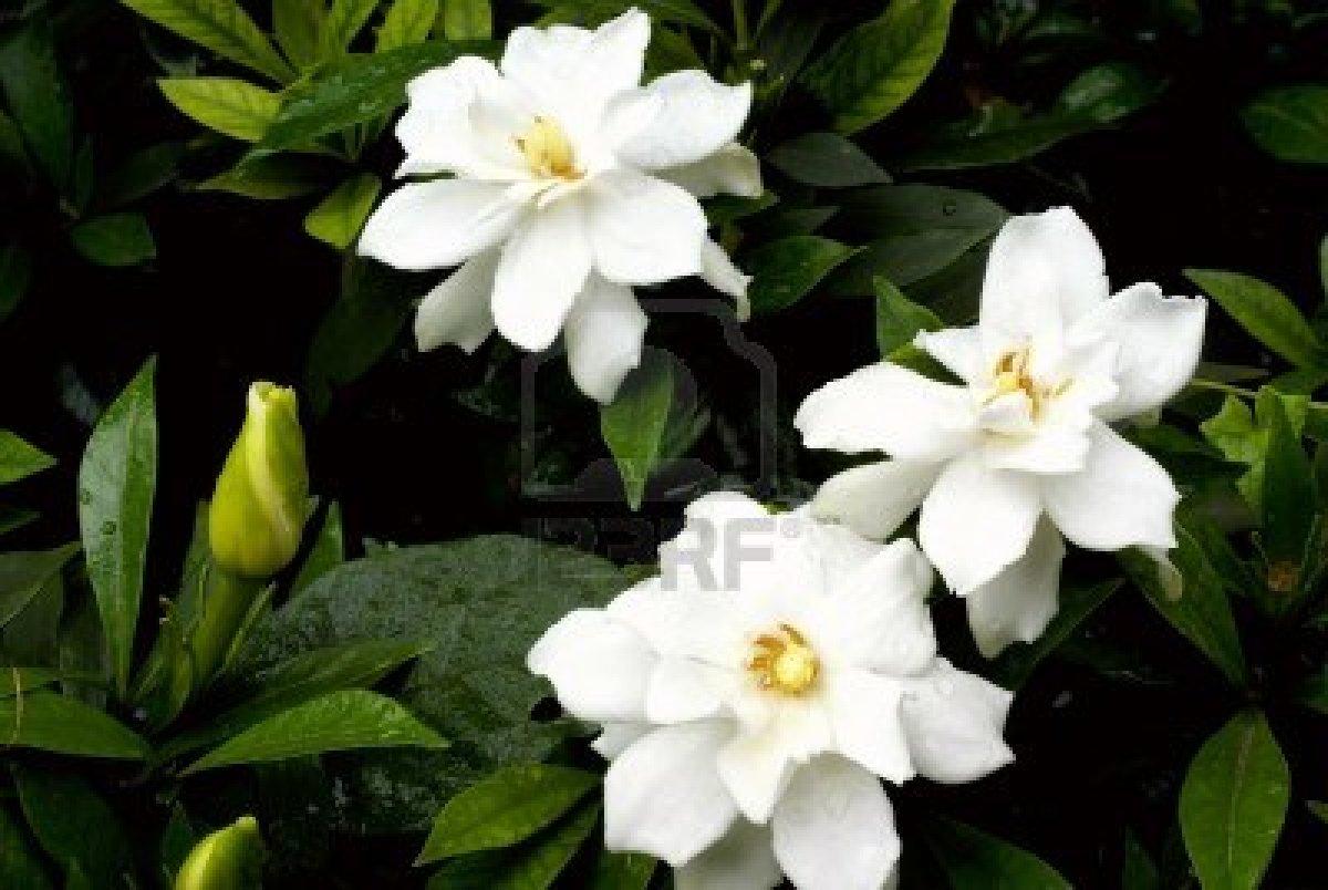 Jasmine Flower HD Wallpapers Free Download