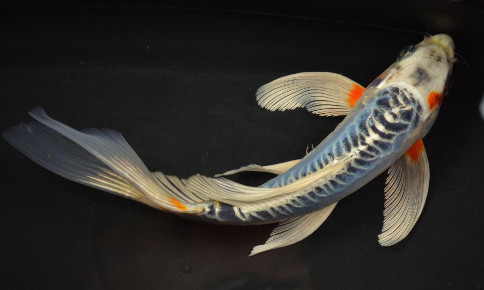 Koi to the world blue koi for Blue coy fish