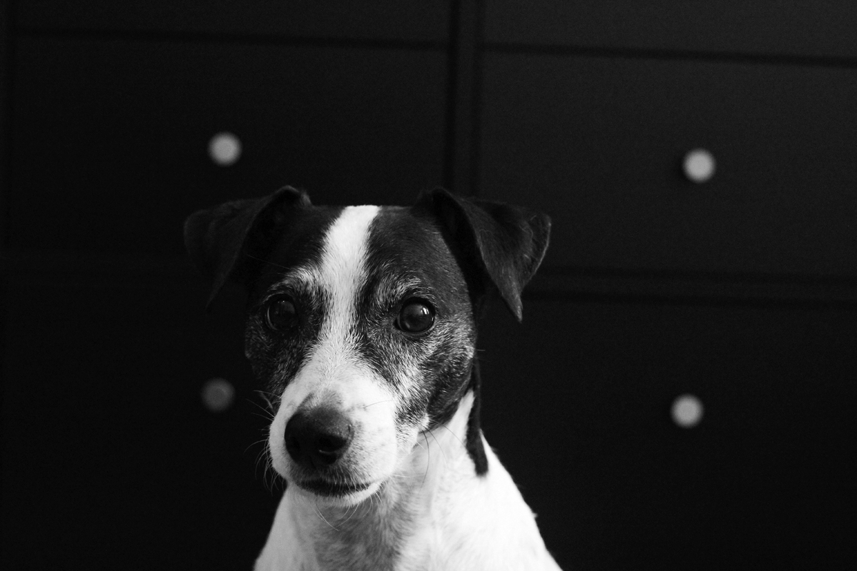 jack russell terrier black and white - photo #10