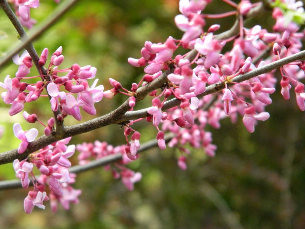 Eastern redbud Cercis canadensis flowers James Gardens Etobicoke by garden muses-not another Toronto gardening blog