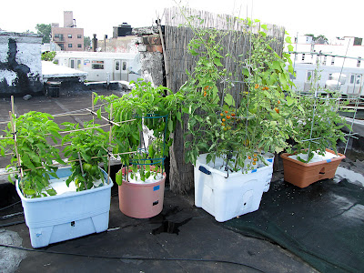 Bucolic Bushwick Rooftop Vegetable Container Garden 2011