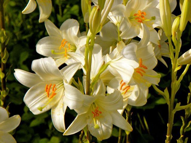 Arte y jardiner a azucena lilium bulbos de temporada for Azucena plantas jardin
