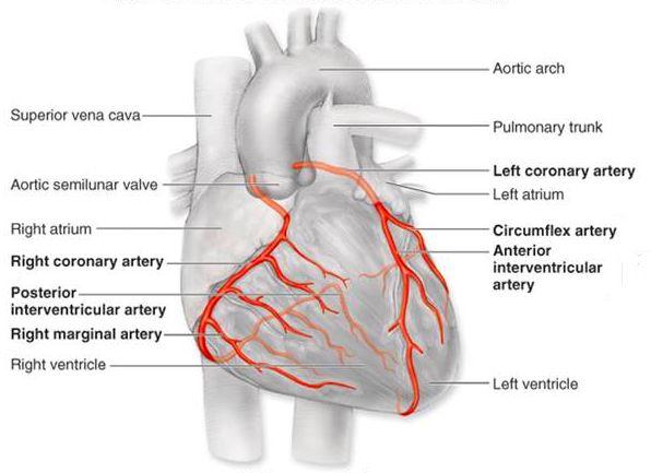 Coronary vasculature anatomy