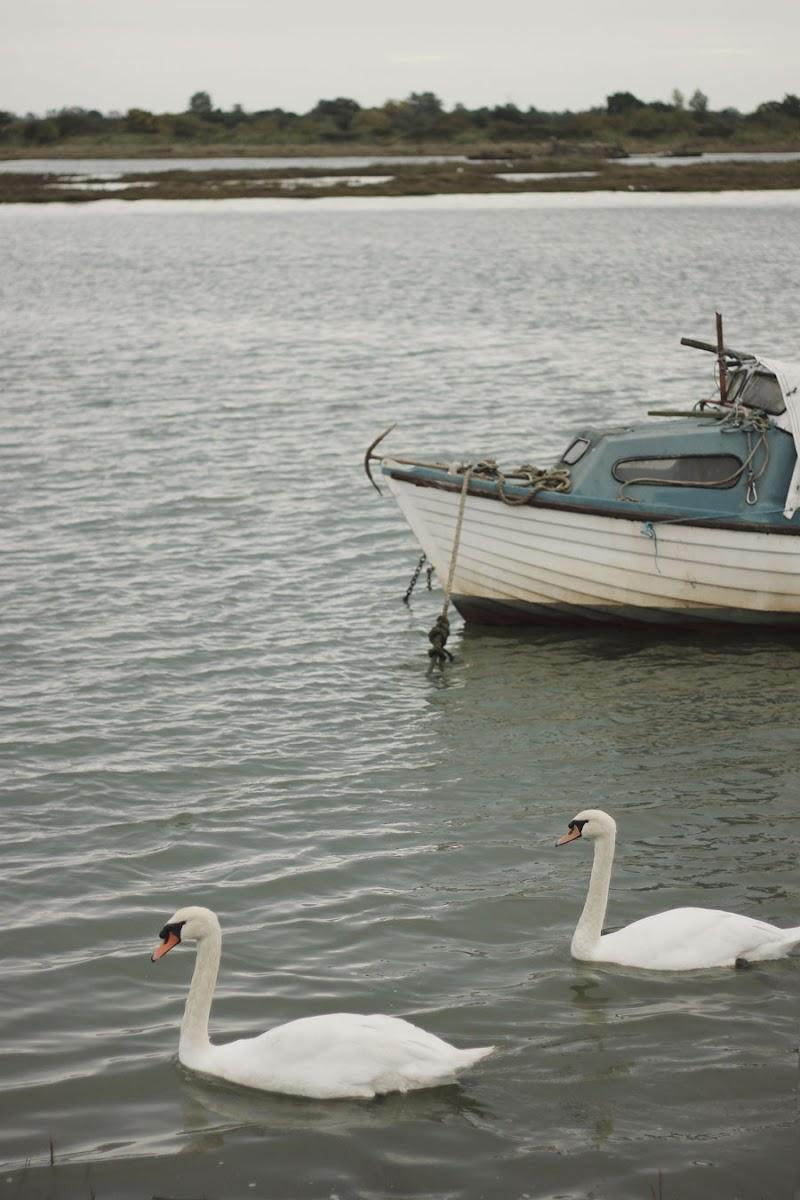 swans maldon river blackwater