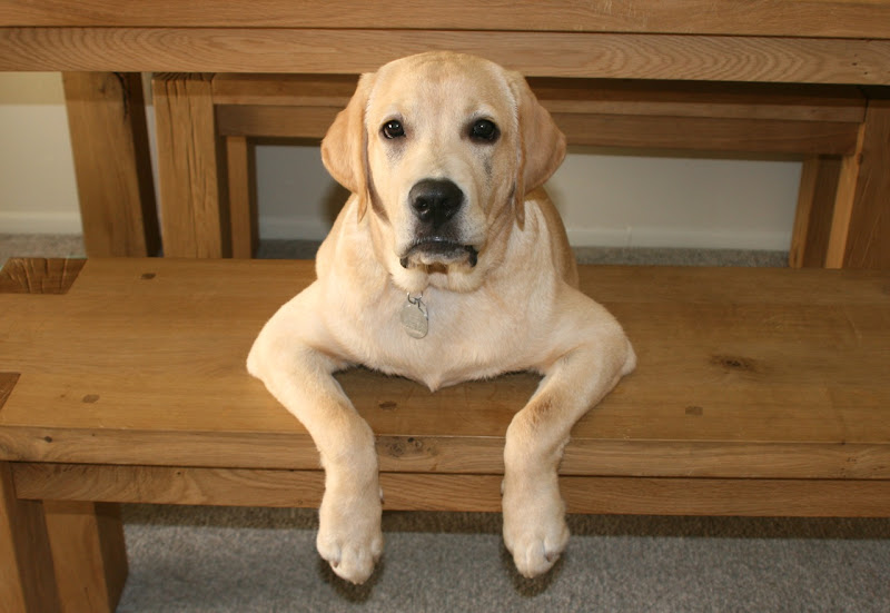 Bench Labrador paws