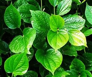 Manfaat dan Khasiat daun Sirih Untuk Kesehatan