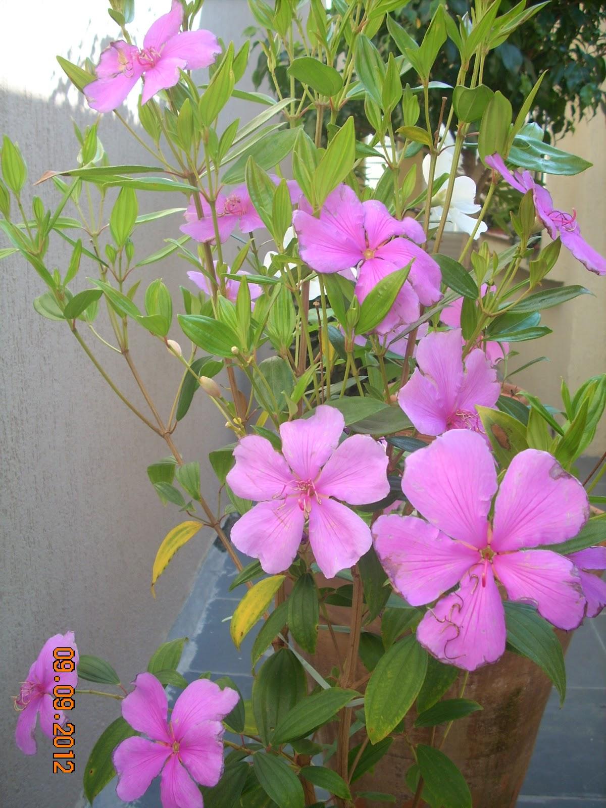 meu quintal meu jardim:Coisas de Ada: Manacá da Serra no meu quintal