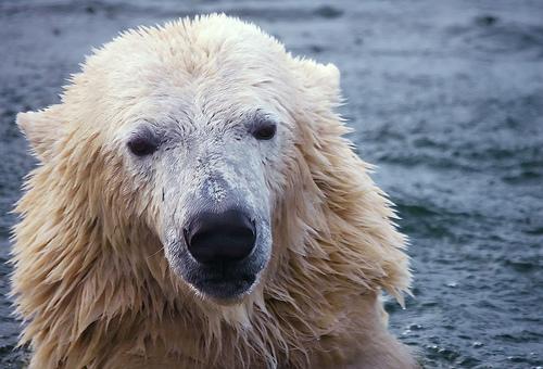 Amper Bae endangered polar bears
