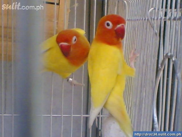 Beautiful African Love Birds 7