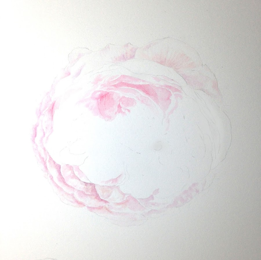 rose watercolour work in progress
