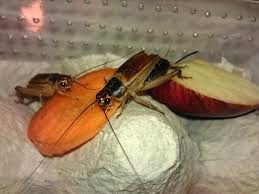 how to breed crickets